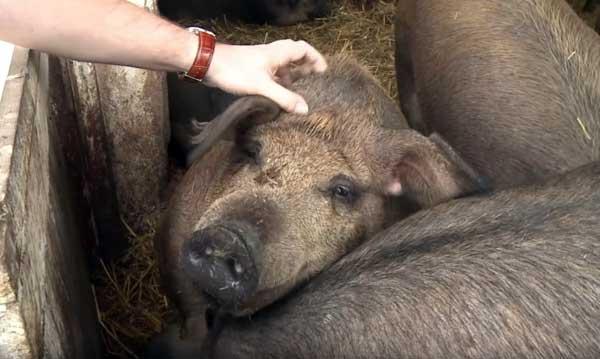 Дружелюбные свинки