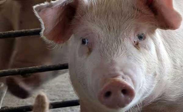 Грустная свинка