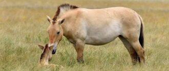 Предок домашних лошадей - дикая степная лошадь