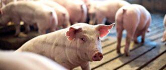 Инфекционные заболевания свиней