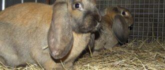 Французский баран кролик: характеристика
