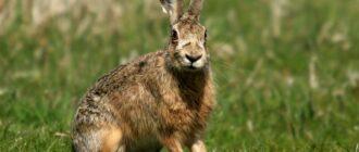 Заяц русак: краткое описание