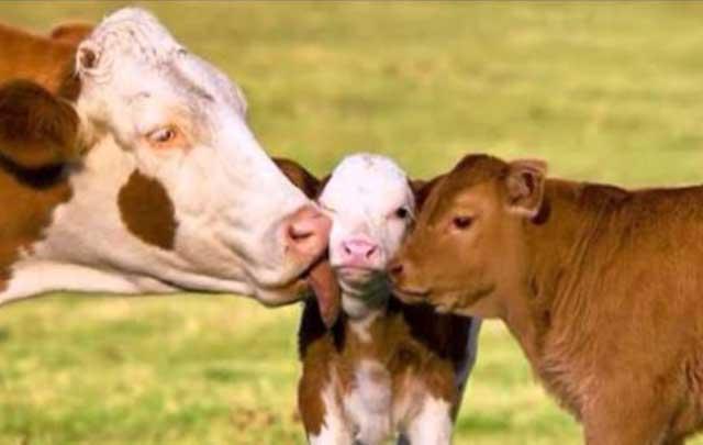 Окружите теленка вниманием и заботой