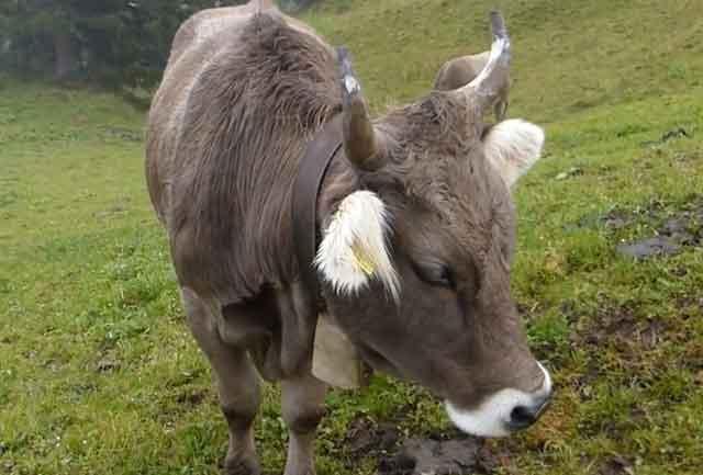 Рацион коров должен быть разнообразным