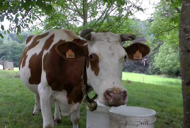 Беременную корову нужно кормить правильно