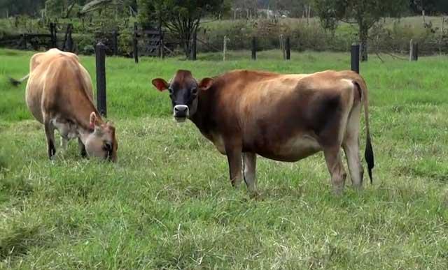 Заболевших особей изолируют от стада