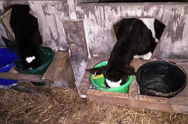 Телят необходимо хорошо кормить