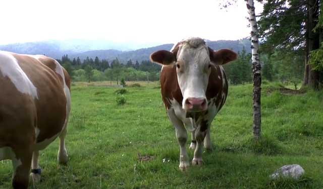 Мясо и шкуры больного животного подлежат дезинфекции