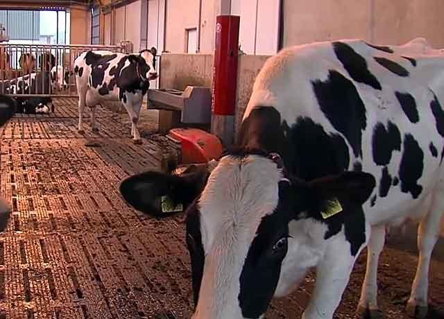 Беременность у коров длится примерно 9,5 месяцев