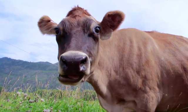 Когда корова дает молоко, почему корова дает молоко (фото ...