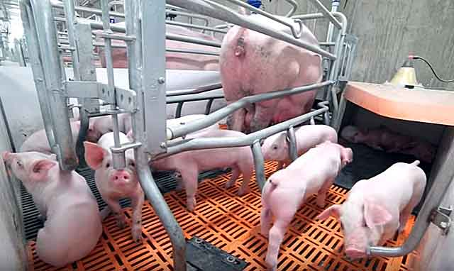 Рентабельность при выращивании свиней 752